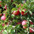 Jabłka na odchudzanie http://zdrowszeznatury.pl
