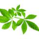 Jiaogulan – zioło długowieczności http://zdrowszeznatury.pl