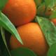 Gorzka pomarańcza - działa jak efedryna http://zdrowszeznatury.pl