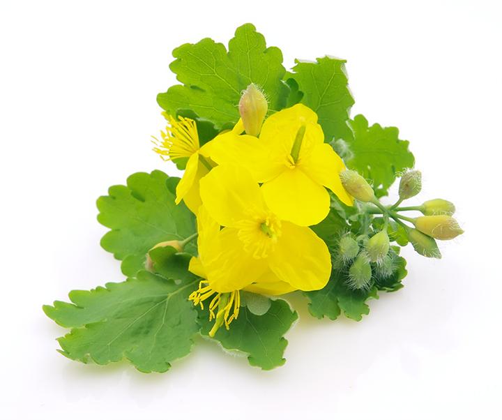 Glistnik jaskółcze ziele http://zdrowszeznatury.pl