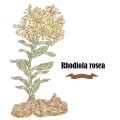 Rhodiola rosea or golden root vector illustration. Hand drawn me