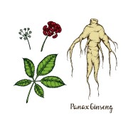 illustration of Panax Ginseng.