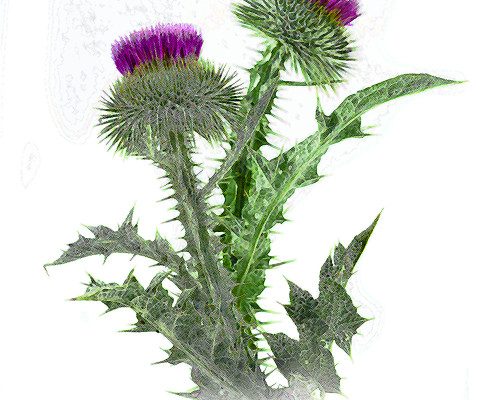 two milk thistles on white