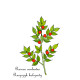 Butcher s broom Ruscus aculeatus , or Knee Holly, Christmas Berry - evergreen plant