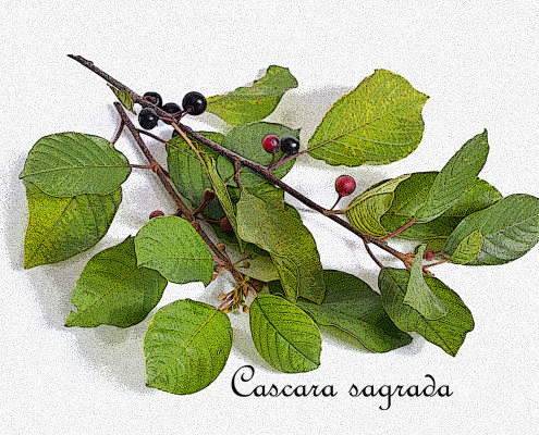 Frangula alnus, commonly known as the alder buckthorn, glossy bu