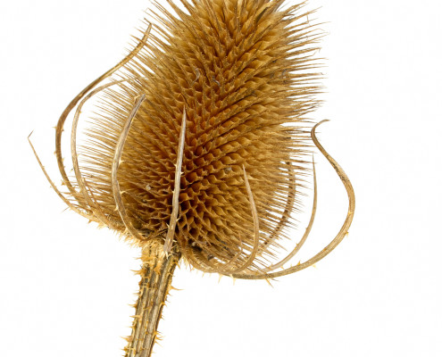 Dry teasel head on white background