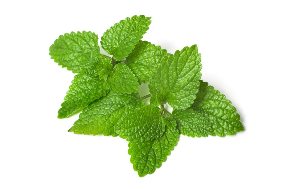 fresh green leaf of melissa